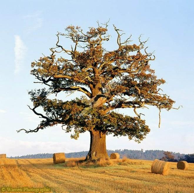 beautiful trees ockley oak