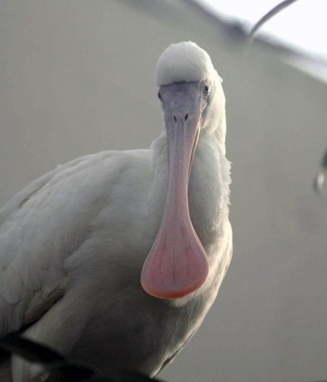 funny birds african spoonbill