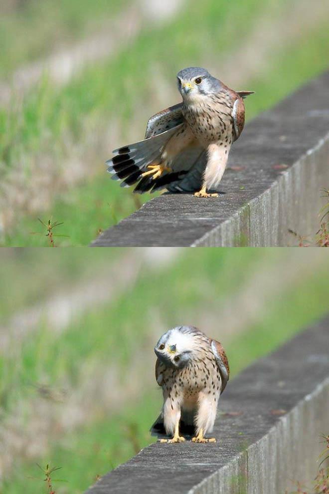 funny birds silly hawk