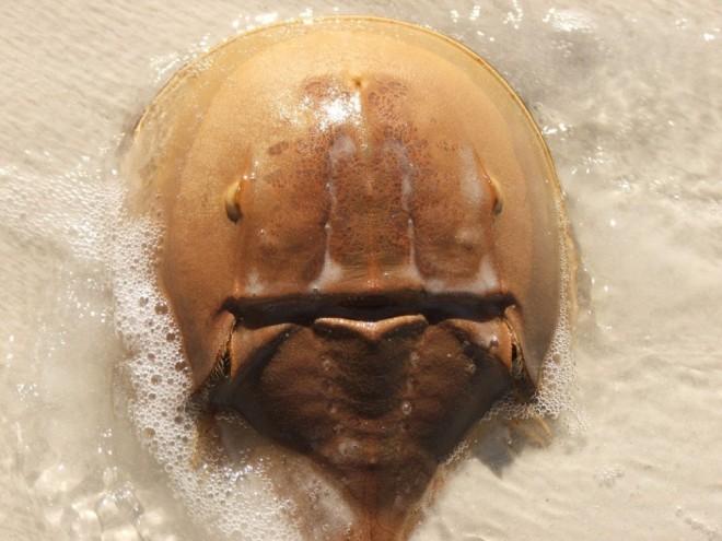 weird animals horseshoe crab