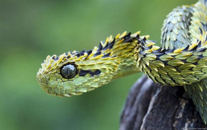 weird animals bush viper