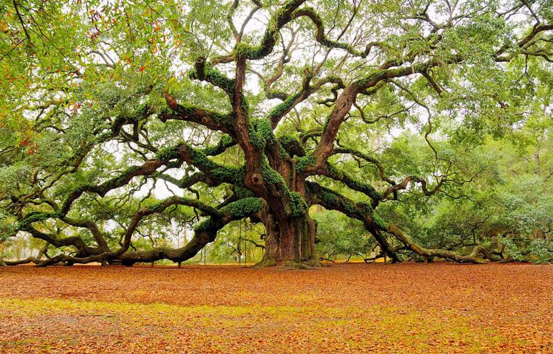 beautiful trees angel oak tree charleston