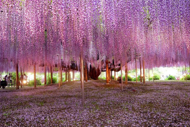 beautiful trees most beautiful wisteria tree