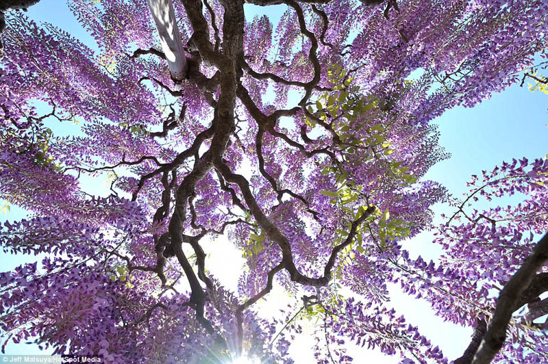 beautiful trees violet_0