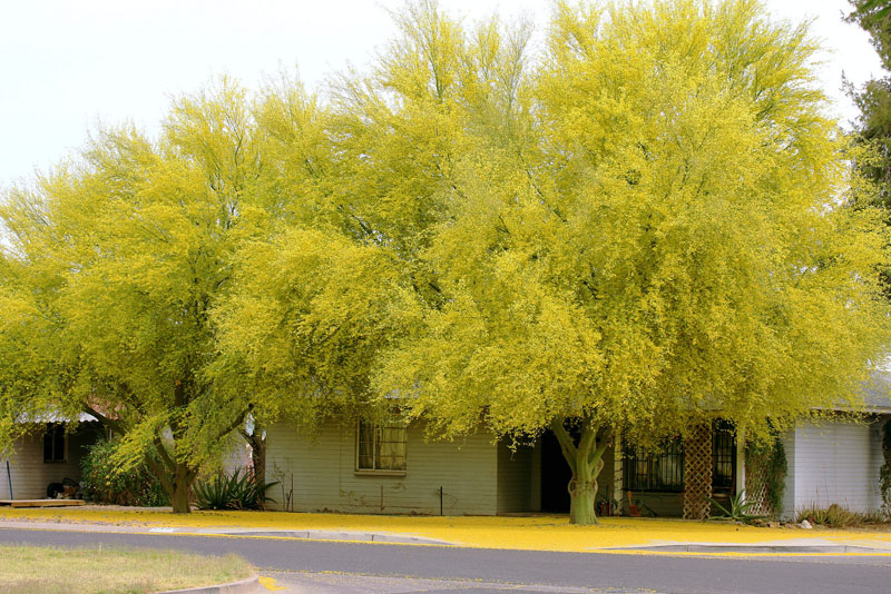 flowering trees arizona state tree