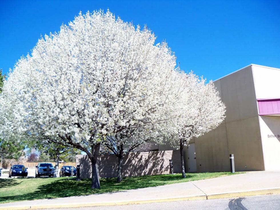 flowering trees bradford pears