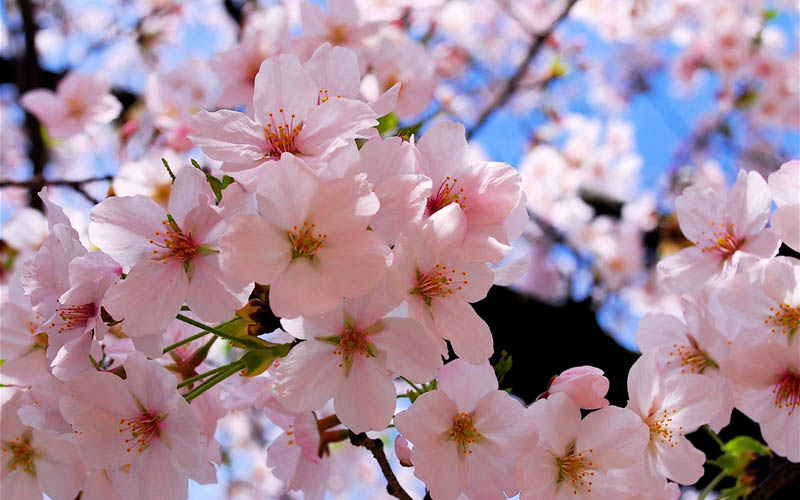flowering trees cherry blosoms