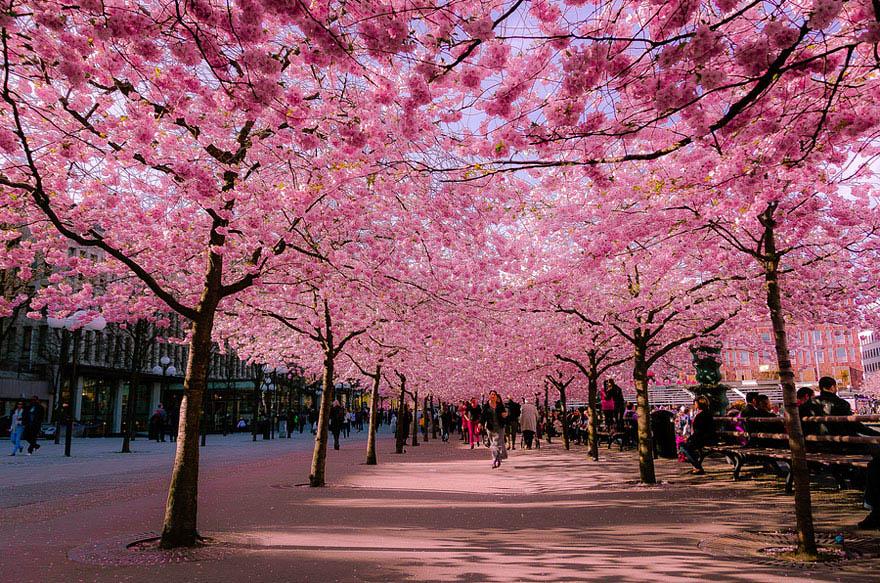 flowering trees cherry blossom