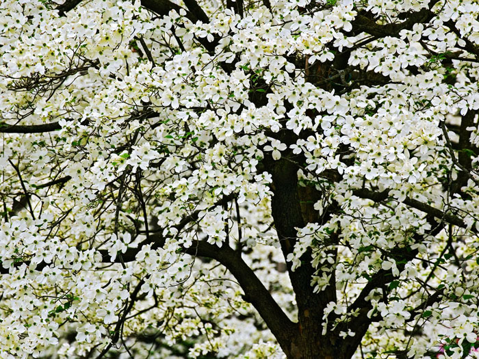 flowering trees kentucky dogwood