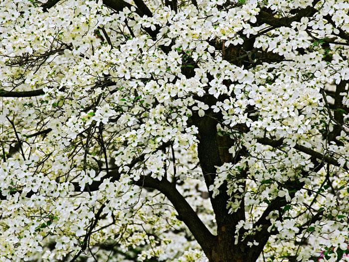 flowering trees kentucky dogwood