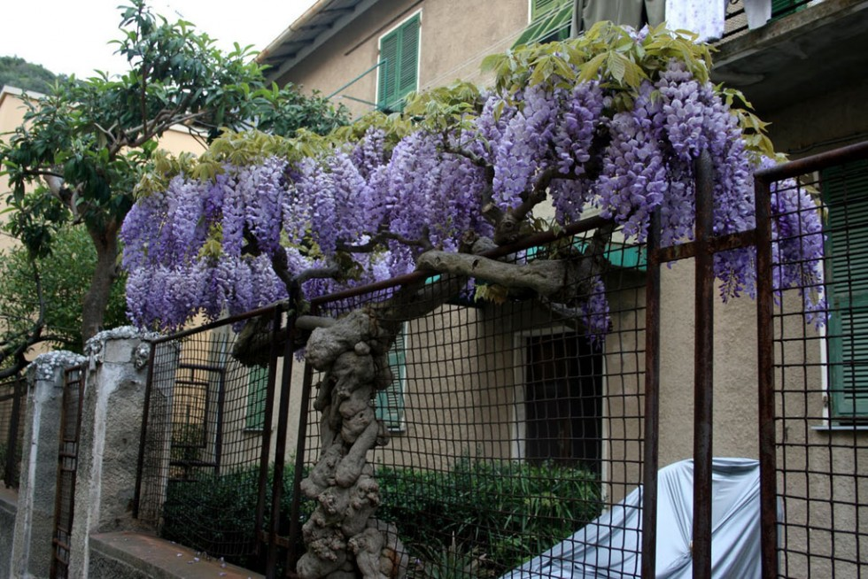 flowering trees lilac curtain