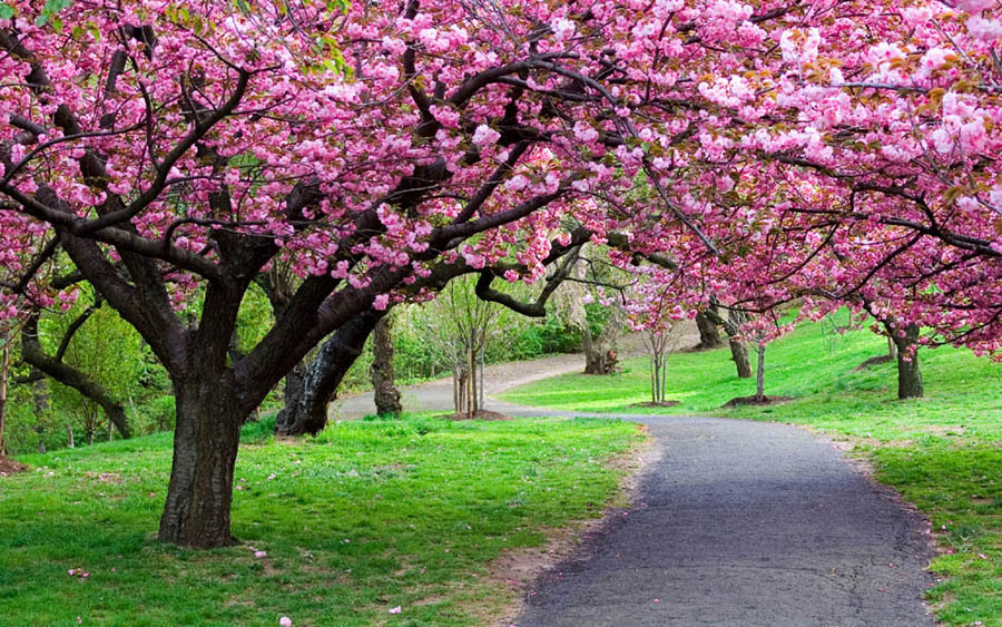 flowering trees pink trees