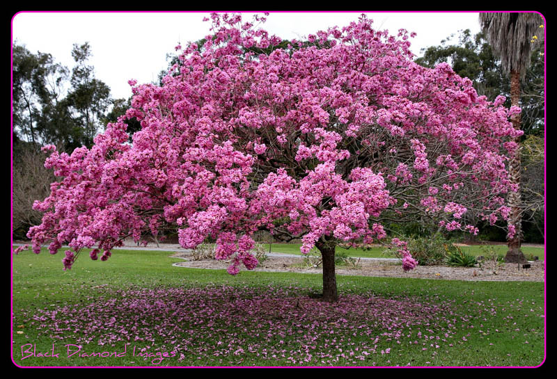 20 Most Beautiful Flowering Trees Around The World