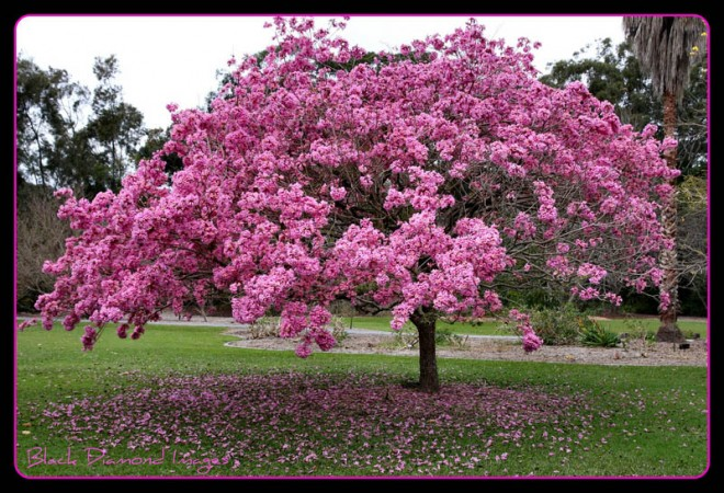 20 most beautiful flowering trees around the world for Tree with red flowers