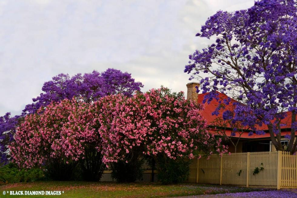 flowering trees pink violet