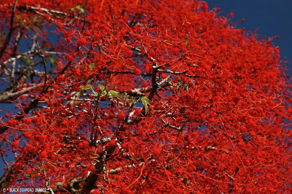 flowering trees red