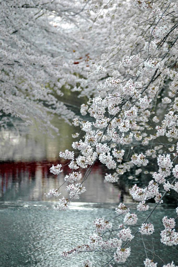 flowering trees white river