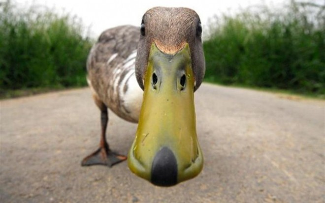 funny birds duck