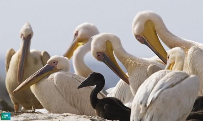 funny birds black swan