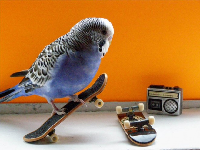 funny birds budgie