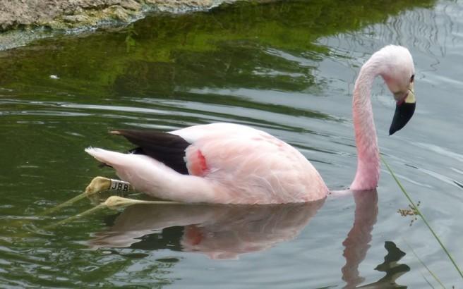 river flamingo photography