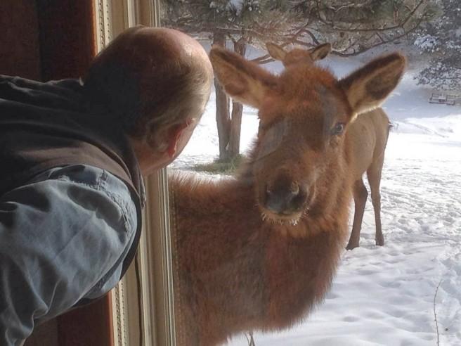 goat looking window