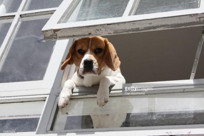 dog looking window