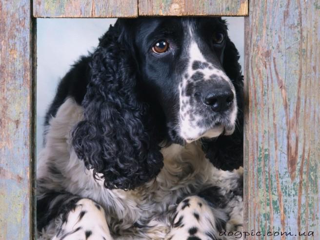 spaniel dog looking window