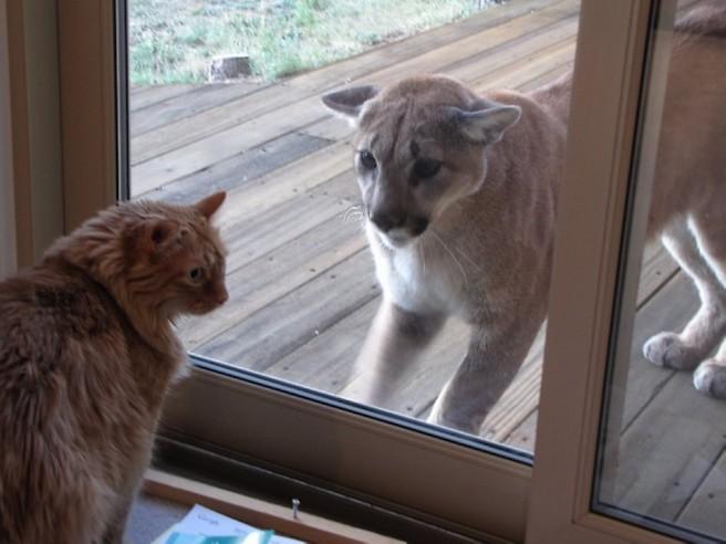 mountain lion looking window