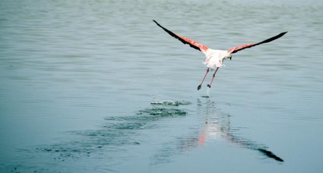 flying flamingo photography