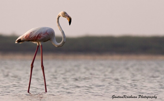 river flamingo photography