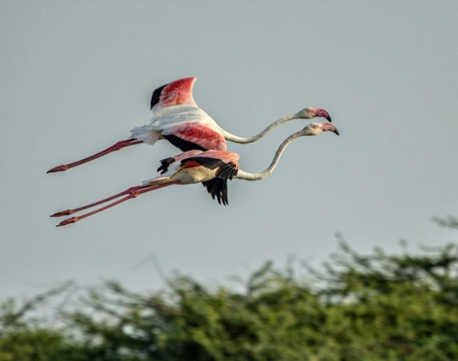 flying flamingos photography