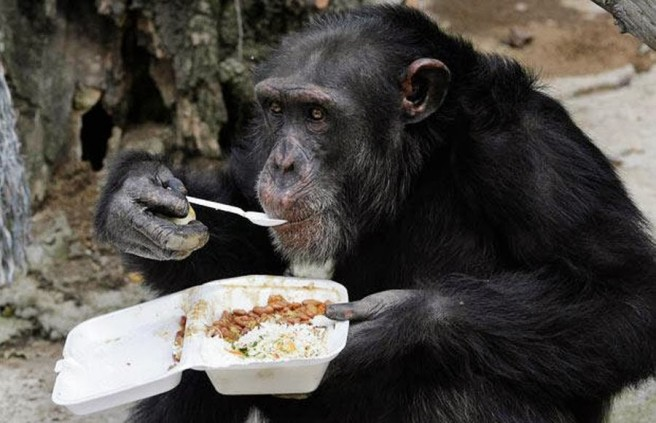 gorilla eating food