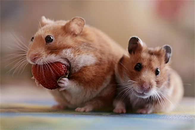 mouse eating strawberry