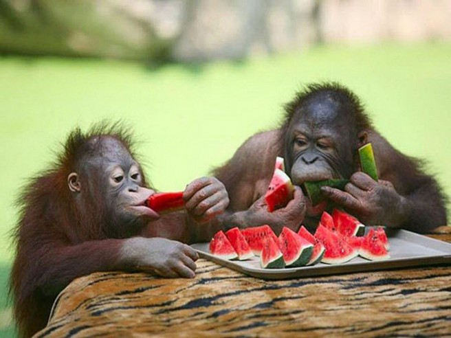 gorilla eating water melon