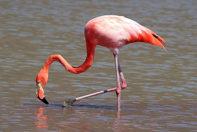 greater flamingo photographpy