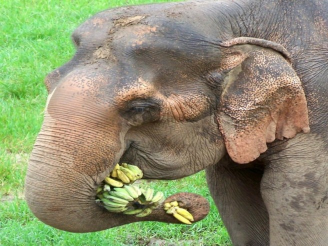elephant eating bananas