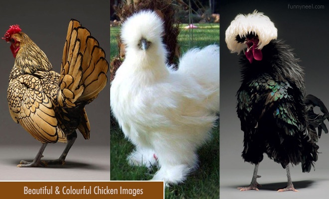 Beautiful Chicken Images