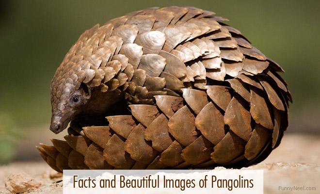 beautiful pangolins