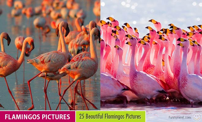 Flamingos Pictures