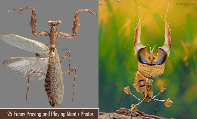 25 funny praying and playing mantis photos - mantis macro photographs