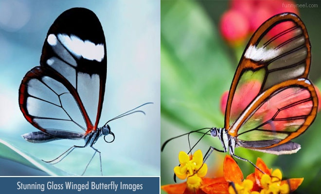 Glass Winged Butterfly Pictures