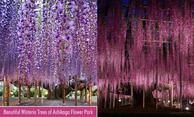 Beautiful Wisteria Trees