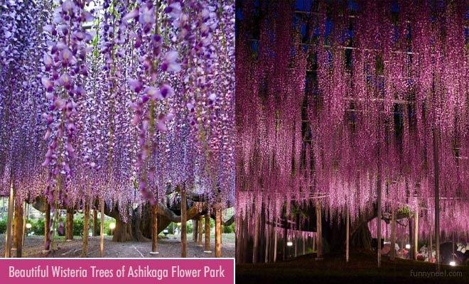 beautiful wisteria trees