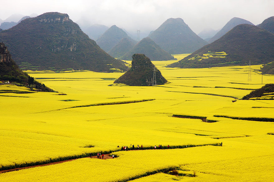 canola flower fields photography