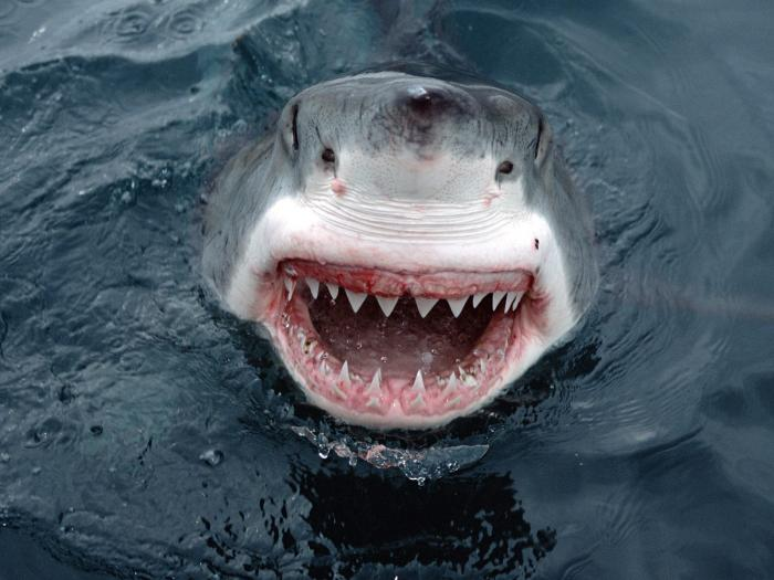 shark happy animal