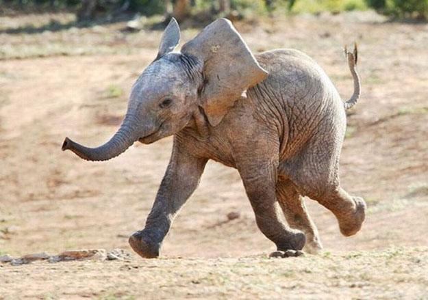 elephant happy animal