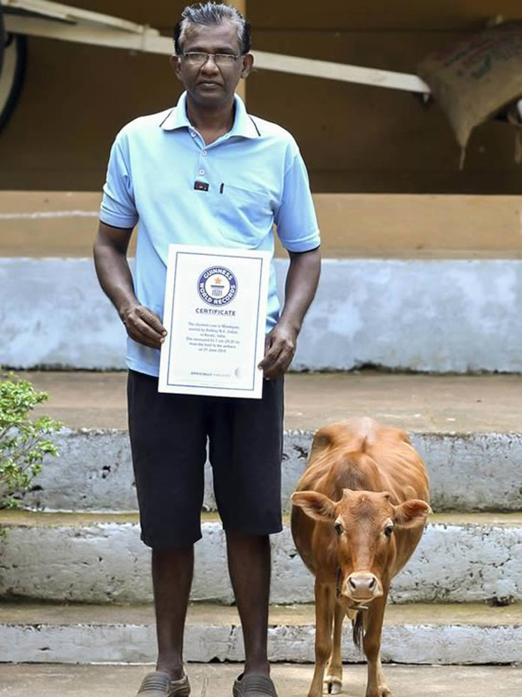 tiniest cow funny guinness world records