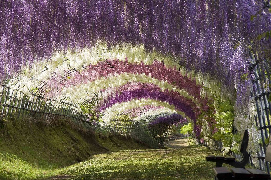 wisteria flower tunnel photography
