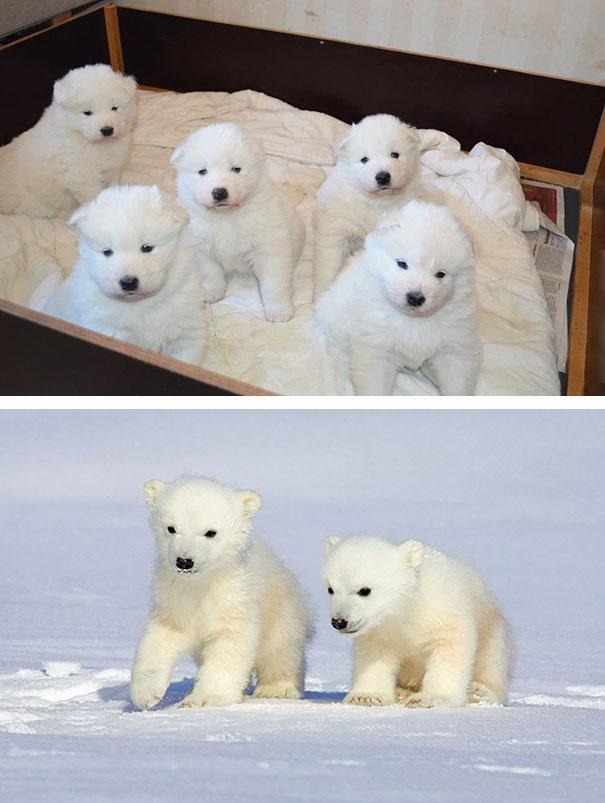 2 baby samoyeds look like little polar bears funny similar things photography